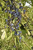 Bullace - Prunus domestica instita