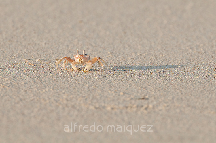 Crab walking on the sand of the beach at  Isla Pacheca shore. Las Perlas Archipelago, Panama Province, Panama, Central America.