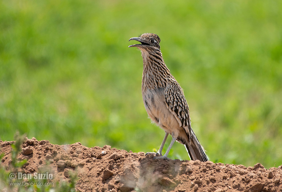 Greater Roadrunner, Geococcyx californianus, in Zanjero Park, Gilbert, Arizona