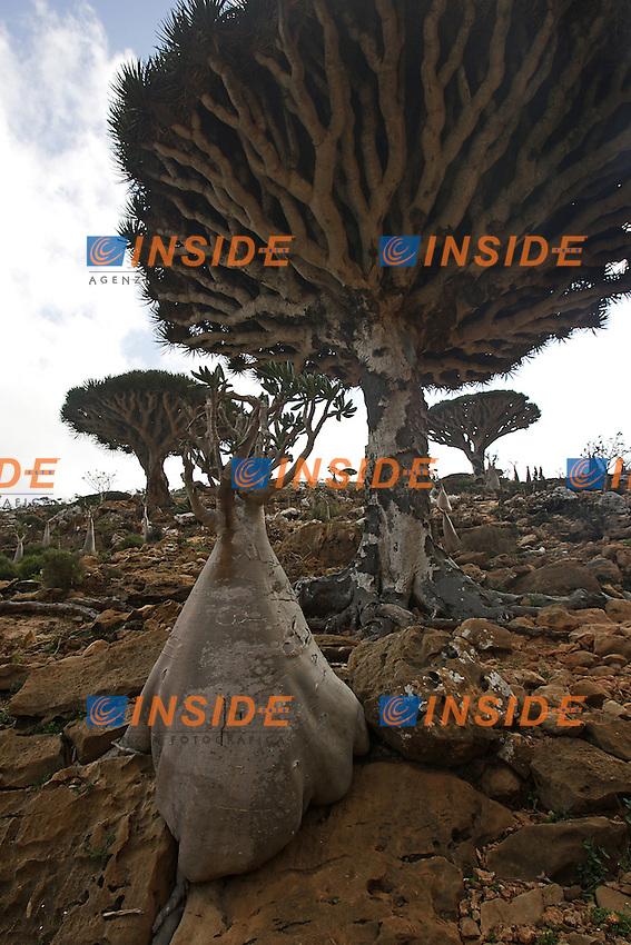 Socotra, gennaio 2006....Socotra e' l'isola più grande dello Yemen, rimasta per lungo tempo isolata dal continente ha sviluppato una fauna ed una flora  straordinaria con specie endemiche particolarissime. L'arcipelago di Socotra e' stata dichiarata dall'UNESCO Riserva della Biosfera...Nella foto: Particolarissimo Adenium Obesum o più comunemente chiamato albero bottiglia o rosa del deserto e l'albero del Sangue di Drago nel parco del parco dell'Homhill...Socotra was declared by UNESCO a Biosphere reserve and it was so long isolated to the continent that has developed a lot kinds of particular animal and vegetable species...In the picture the desert rose or Adenium Obesum and the Dragon Blood Tree in the Homhill Park...Photo Antonietta Baldassarre INSIDE