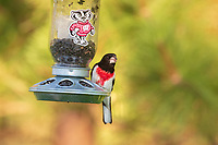 Male rose-breasted grosbeak perched on a Wisconsin Badgers bird feeder.
