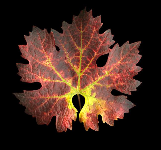 Cabernet leaf in fall