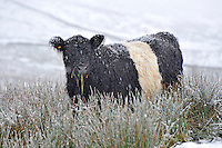 Belted Galloway cattle in the snow, Slaidburn, Lancashire.<br /> <br /> <br /> Copyright.<br /> John Eveson, Dinkling Green Farm, Whitewell, Clitheroe, Lancashire. BB7 3BN<br /> 01995 61280. 07973 482705<br /> j.r.eveson@btinternet.com<br /> www.johneveson.com