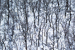 Deciduous forest in winter, Riding Mountain National Park, Manitoba, Canada