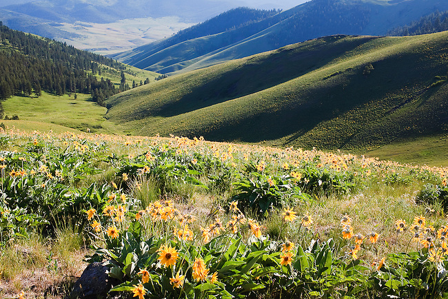 Arrow leaf balsamroot flowers and rolling hills in the National Bison Range in western Montana
