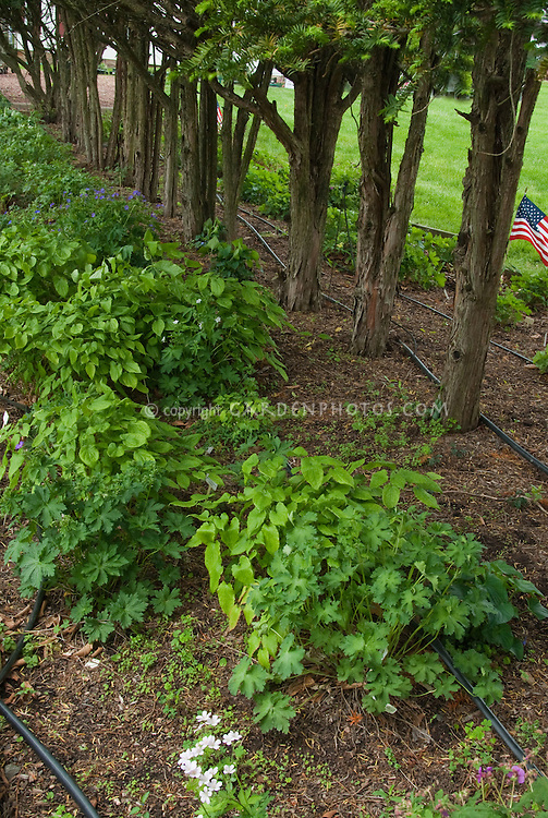 irrigation of dry shaded garden area by adding soaker water hoses under trees; planted are geranium and epimedium; American flags, lawn