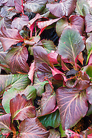 Bergenia Bressingham Ruby in winter color, red purple leaf foliage