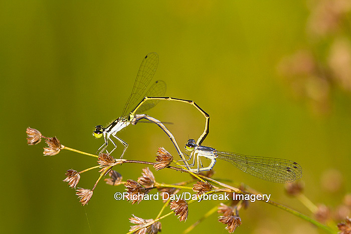 06326-00106 Fragile Forktail Damselfly (Ischnura posita) male and female mating in wetland, Marion Co., IL