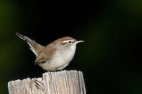 Bewick's Wren, South Llano River State Park, Texas