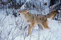 Coyote (Canis latrans) barking or yipping.