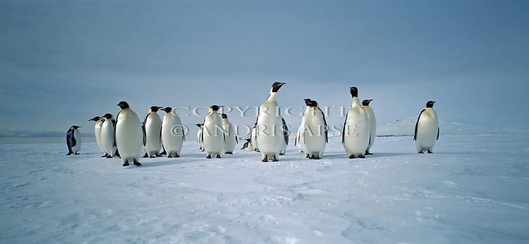 Emperor Peguins on sea ice at McMurdo Sound. Antarctica.