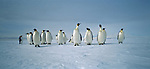 Emperor Peguins on sea ice at McMurdo Sound. Antarctica.