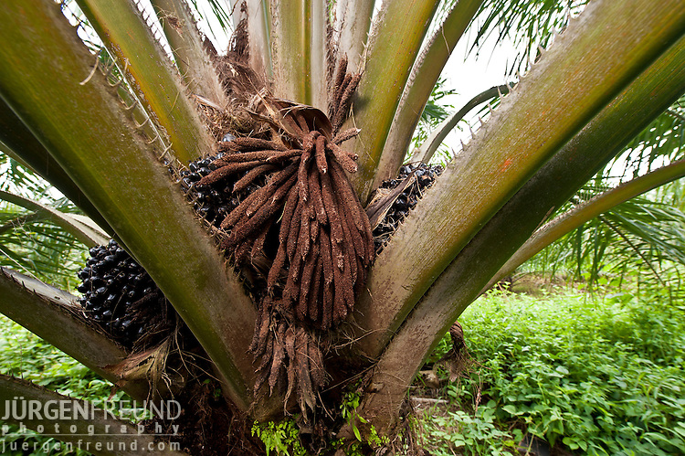 Palm (Elaeis quineesis Jacq) fruits still in the process of ripening with oil. Not ready for harvesting. New Britain Palm Oil Limited