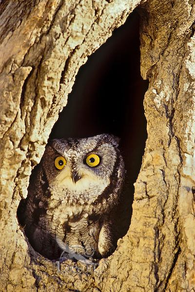 Eastern Screech Owl or Eastern Screech-Owl (Megascops asio) in tree cavity.