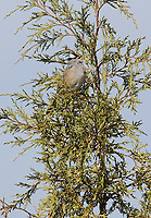 A White-crowned Sparrow sings his spring song.