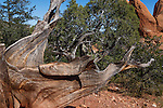 A Bristlecone Pine tree at Garden of the Gods State Park, Colorado Springs, Colorado, USA