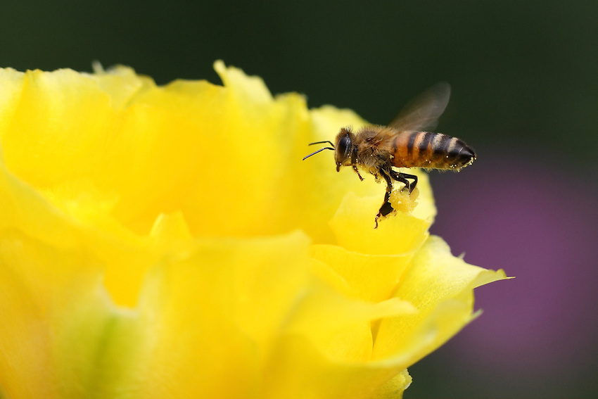 Honey Bee mining for gold. Prickly pear bloom.