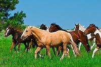 Wild mustangs, Black Hills Wild Horse Sanctuary, near Hot Springs, Black Hills, South Dakota USA