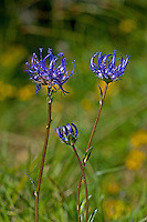 Kugelige Teufelskralle, Kuglige Teufelskralle, Kugel-Teufelskralle, Rundkopf-Teufelskralle, Phyteuma orbiculare, Round-headed rampion, Round headed rampion, Pride of Sussex