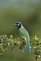 Green Jay (Cyanocorax yncas), adult perched on berry laden Elbow bush (Forestiera pubescens), Rio Grande Valley, South Texas, Texas, USA