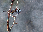 A House Sparrow in a sun snow shower.