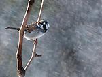 A House Sparrow in a sun snow shower.