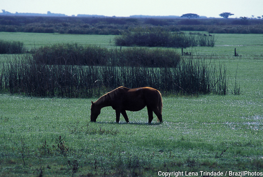 One horse eating grass on an alluvial plain, Rio Grande do Sul State, Brazil.