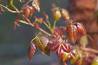 Poison Ivy; Toxicodendron radicans; spring; PA; Philadelphia; Wissahickon Park;