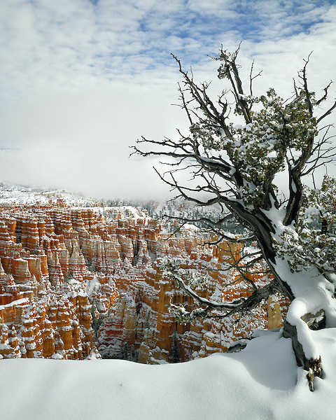 Juniper tree in snow, Bryce Canyon National Park, Utah, USA.