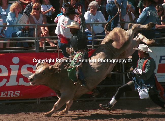 "Bull riding is a rodeo sport to stay mounted for 8 seconds while the bull bucks Arizona, A risky sport called ""the most dangerous eight seconds in sports.""  brahma bull, bull, bull ride, State of Arizona, Southwest, desert, 48th State, Last of contiguous states, Phoenix, Scottsdale, Grand Canyon, Indian reservations, four corners, desert landscape, exrophyte, western United States, Southwest, Mountains, plateaus, ponderosa pines, Colorado River,  Mountain lion, Navajo Nation, No daylight savings time, Arizona Territory, Arizona, AR, Ariz, Fine Art Photography by Ron Bennett, Fine Art, Fine Art photography, Art Photography, Copyright RonBennettPhotography.com ©"