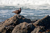 On the rocks near Pigeon Point Lighthouse this Black Oystercatcher displays its identifying red bill, and a not so friendly stare with yellow eyes rimmed in red.