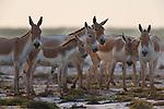 Herd of Indian wild asses (Equus hemionus khur) in clay pan, dry season