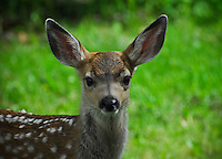 Portrait of a fawn in Alberta's Waterton Park.