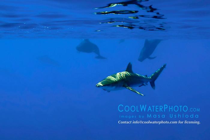 oceanic whitetip shark, Carcharhinus longimanus, and short-finned pilot whales, Globicephala macrorhynchus, off Kona Coast, Big Island, Hawaii, Pacific Ocean.