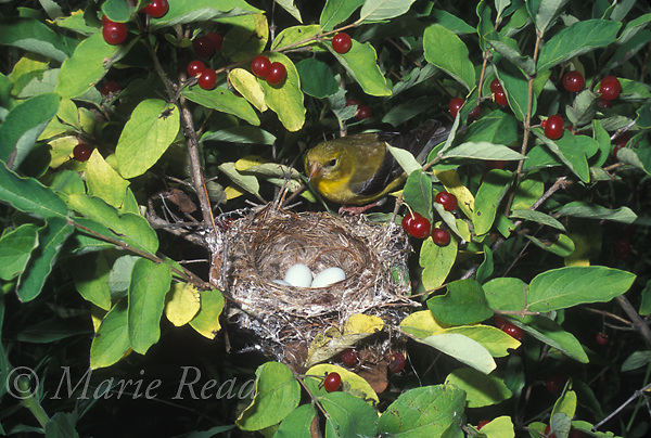 American Goldfinch (Carduelis tristis) female approaching her nest, containing eggs, located in a honeysuckle shrub, New York, USA<br /> Slide # B167-349