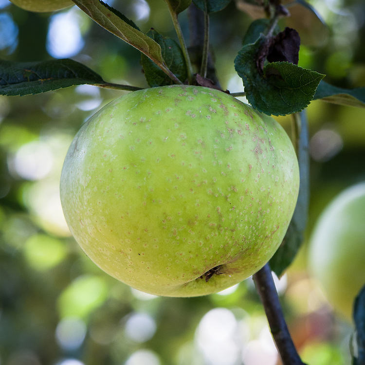 Apple 'Eady's Magnum', late September. An English culinary apple raised in about 1908 by Miss D.A. Eady at Wellingborough in Northamptonshire.