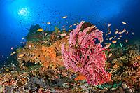 lyretail anthias, Pseudanthias squamipinnis, School of Anthias fish, red seafan, reefscape, Lembingan, Bali, Indian Ocean, Indonesia