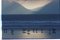 Oyster catchers on Inch Strand in 1987<br /> Picture: Don MacMonagle - macmonagle archive<br /> e: info@macmonagle.com