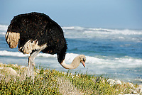 African Ostrich (Struthio camelus) foraging next to beach near Cape of Good Hope, Western Cape Province, South Africa