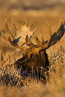 Bull moose resting among sage brush.  Grand Teton National Park, Wyoming.   Old snow.  Winter.