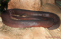 0505-1101  Red Spitting Cobra (African Spitting Cobra), Can Spray Venom, Naja pallida  © David Kuhn/Dwight Kuhn Photography
