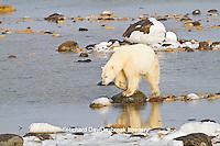 01874-13018 Polar Bear (Ursus maritimus) walking along the edge of Hudson Bay during low tide Churchill Wildlife Management Area, Churchill, MB