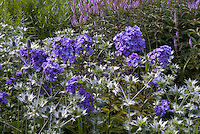 Phlox paniculata 'Blue Evening' incredibly fragrant scented plant flowers with  Eryngium giganteum, & Veronicastrum Fascination at rear