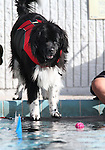 Sam watches a ball at the fourth annual Pooch Plunge at the Carson Aquatic Facility in Carson City, Nev., on Saturday, Sept. 22, 2012. The Parks 4 Paws event helps raise funds for local dog projects..Photo by Cathleen Allison