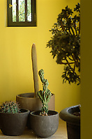 In a country kitchen the varied shapes of a collection of cacti in rustic planters are highlighted against buttercup yellow walls