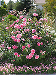 The McCartney Rose bush, Rosa hybrid tea