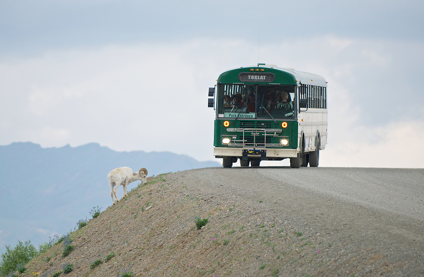 June 27, 2013, Denali Park Shuttle Bus and Dall Sheep, Polychrome Pass, Denali National Park and Preserve, Alaska, United States.