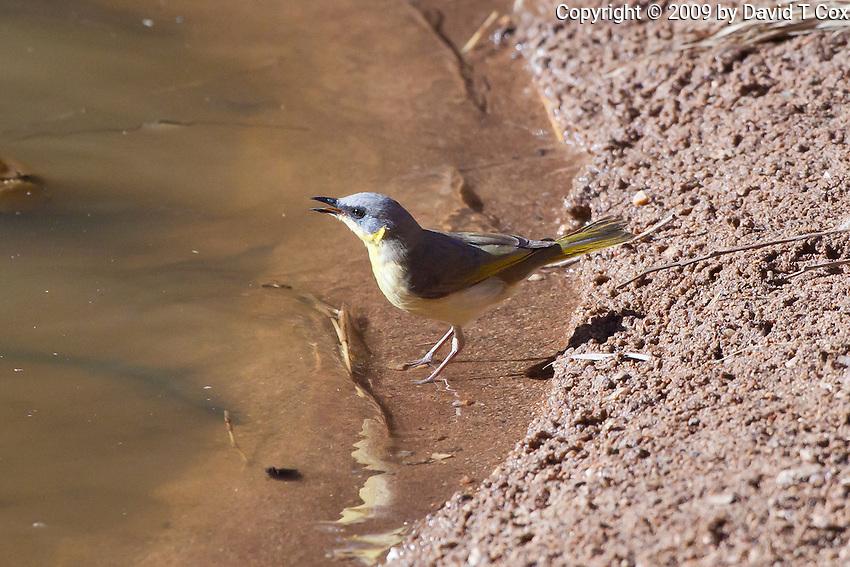 Grey-Headed Honeyeater, East McDowell Mtns, NT Outback, Australia