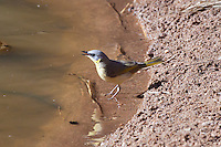 Grey-Headed Honeyeater, East McDowell Mtns, NT Outback, Australia