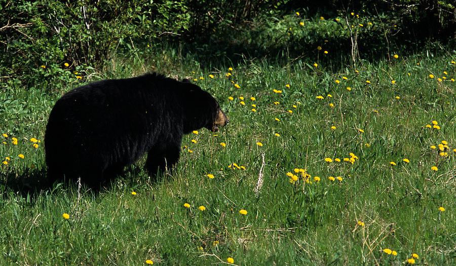 A black bear eats grass and dandelions in Banff National Park, Alberta Canada.